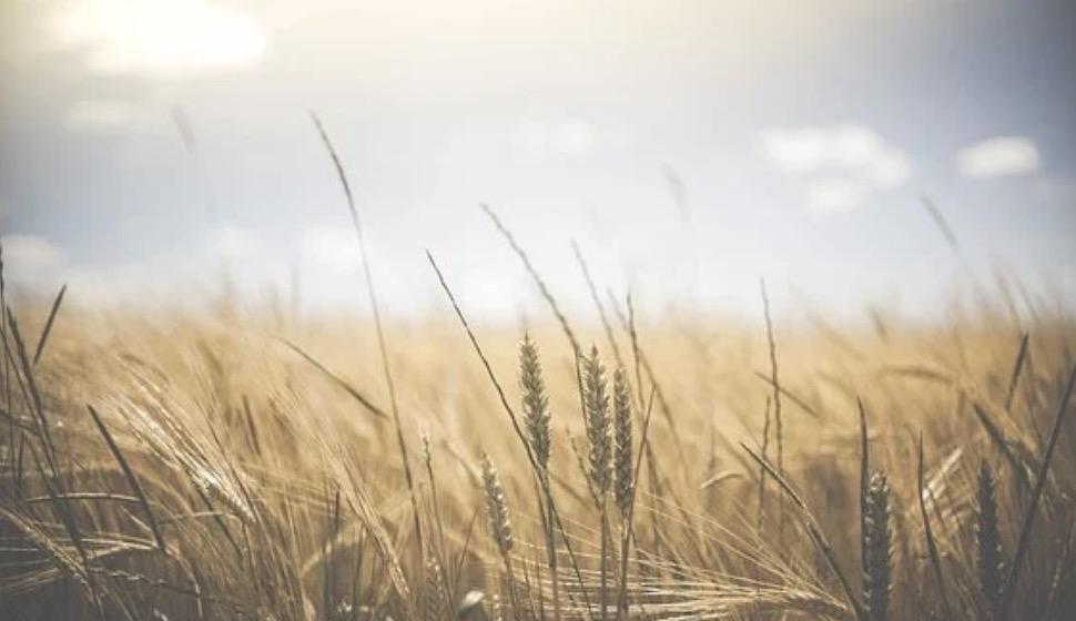 Getreide, Lektine und warum es immer mehr Menschen krank macht